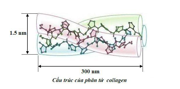 cautruc collagen